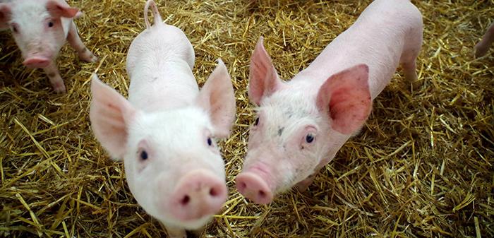 Cochons- Viandes biologiques de Charlevoix